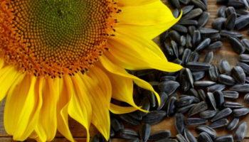 В «Русагро» стартовал новый сезон переработки подсолнечной семечки