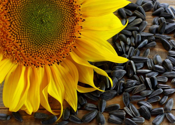 Photo of В «Русагро» стартовал новый сезон переработки подсолнечной семечки