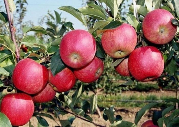 В Севастополе ждут урожай почти в 400 тонн яблок