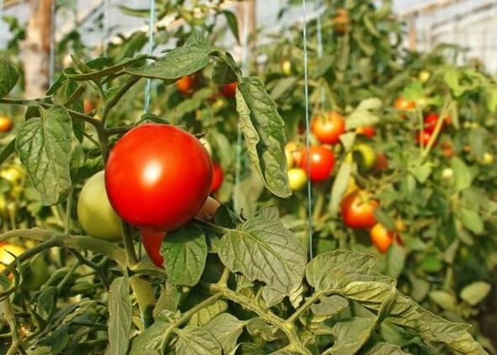В теплицах Подмосковья вырастили свыше 66 тыс. тонн овощей
