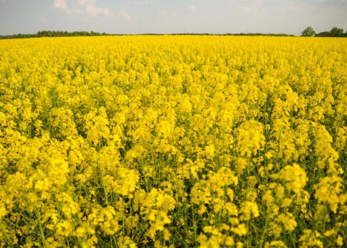 В Забайкалье увеличат посевы рапса