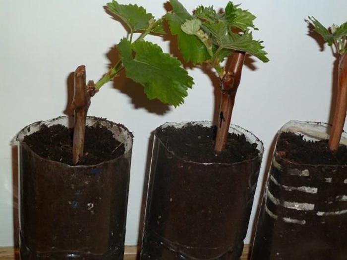 Виноград в грунте