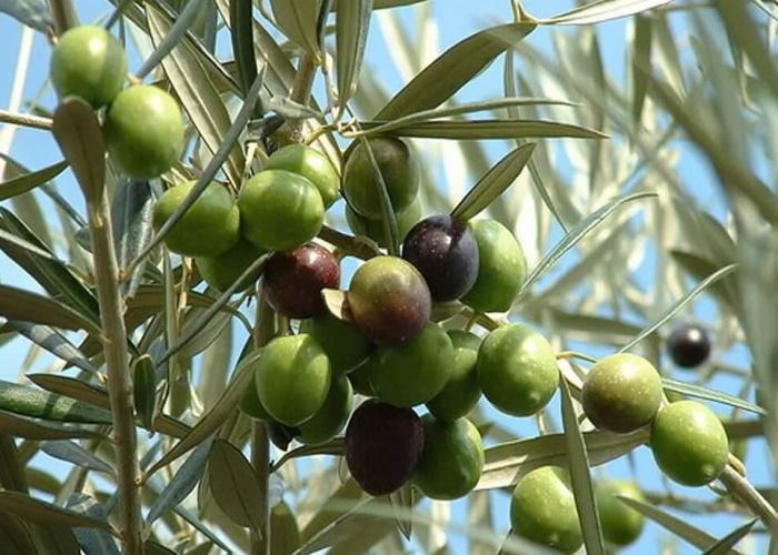 ВоФранции обнаружили бактерию, убивающую оливковые рощи