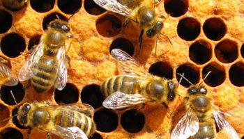 Воздействие пестицидов меняет поведение пчел