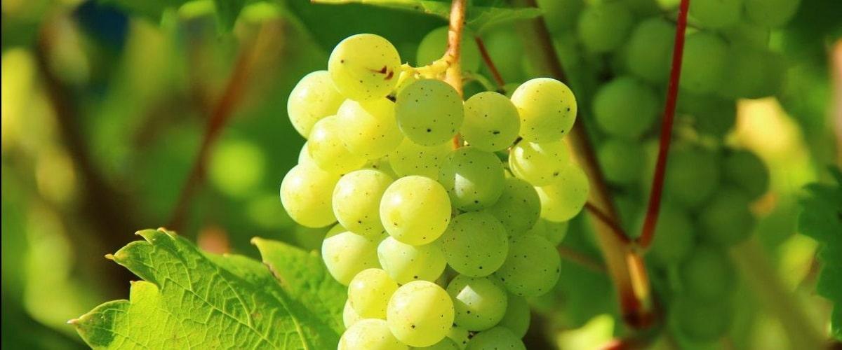 Выращивание винограда и укрытие на зиму