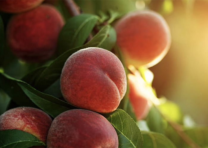Вырастить персик из семян – отличная идея