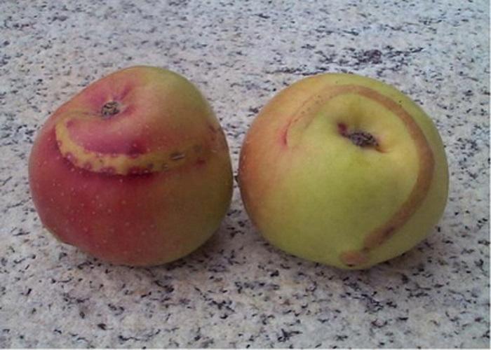 Яблонный пилильщик