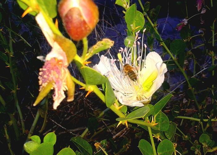 Загадка различного полосатого окраса медоносных пчел