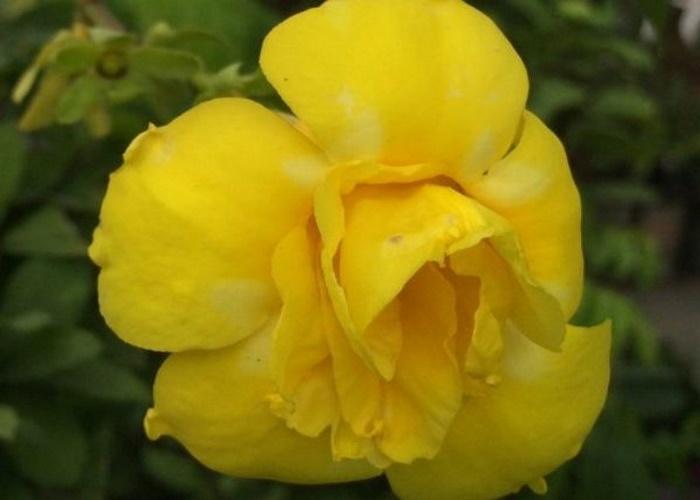 Жёлтая махровая
