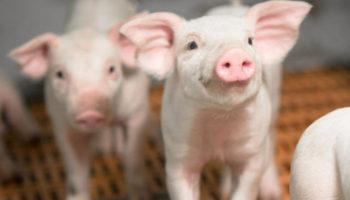 «Агроэко» построила еще один свинокомплекс в Тульской области