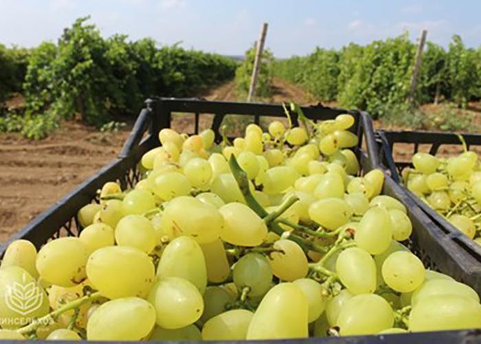 Массандра в 2019г собрала 17 тысяч тонн винограда