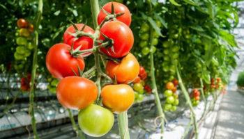Спрос и цены на тепличный томат продолжают расти
