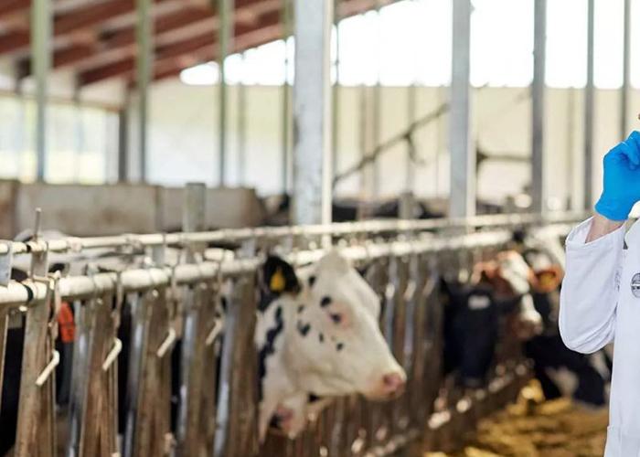 В Дагестане до конца 2020 года будет ликвидировано поголовье скота больного лейкозом