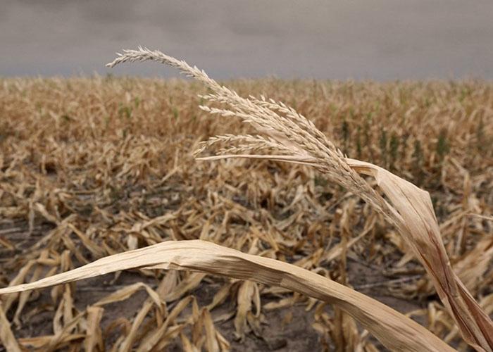 В Казахстане соберут меньше пшеницы чем хотели сказалась засуха