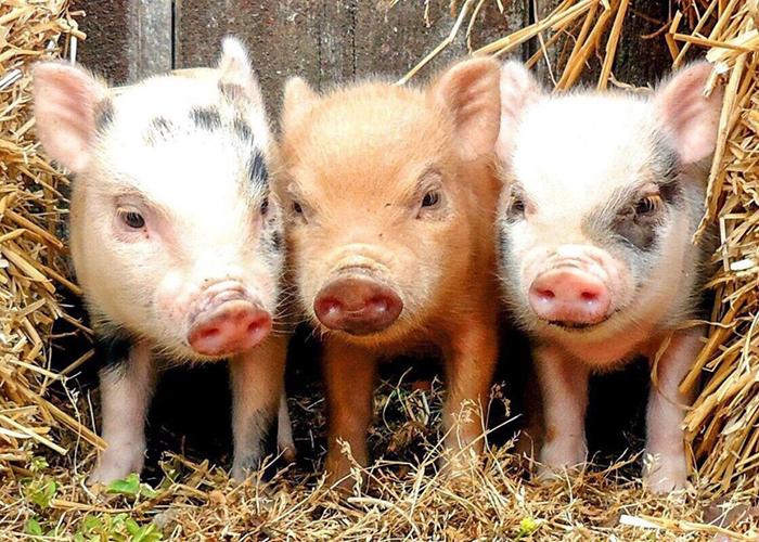 Аграриям в Забайкалье рекомендовали не разводить свиней из-за вспышек АЧС
