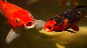 Аноксия у рыб: недостаток кислорода