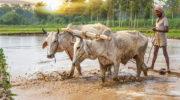 Аномальные дожди губят урожай в Индии