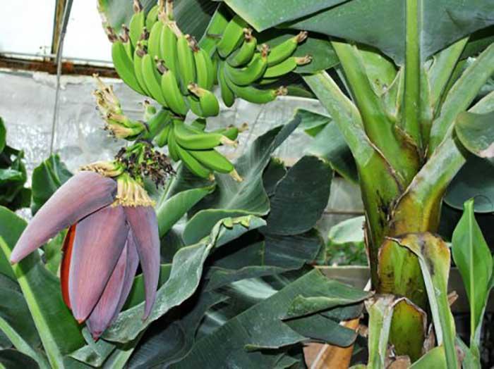 Банан: ботаническое описание