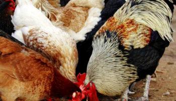 Чем лучше кормить кур несушек