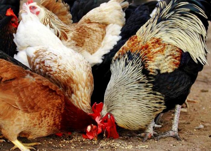 Чем лучше кормить кур несушек – АГРАРИЙ