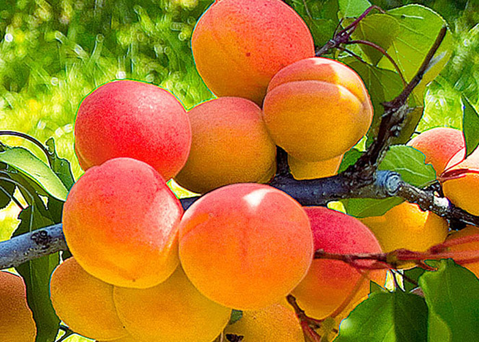 Чтобы рос абрикос