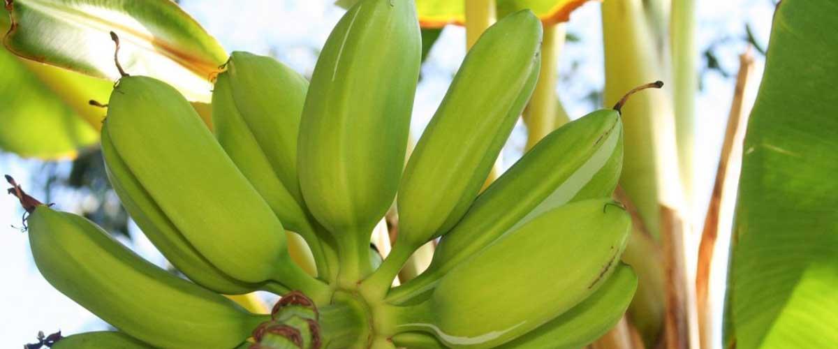 Домашний банан из семян как правильно посадить и ухаживать
