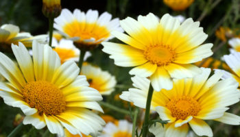 Хотите полакомиться… хризантемой
