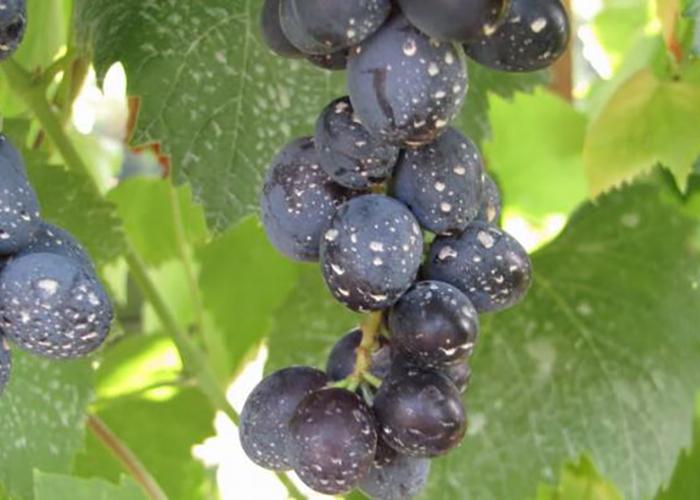 Как и чем обрабатывать виноград