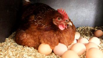 Как определить какая курица несется, а какая нет