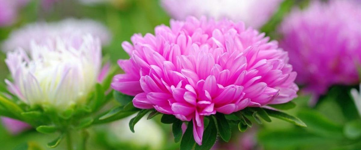 Как посадить и вырастить Астры на приусадебном участке