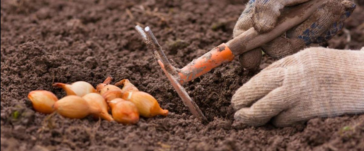 Как правильно сажать лук под зиму Подходящие сорта для посадки