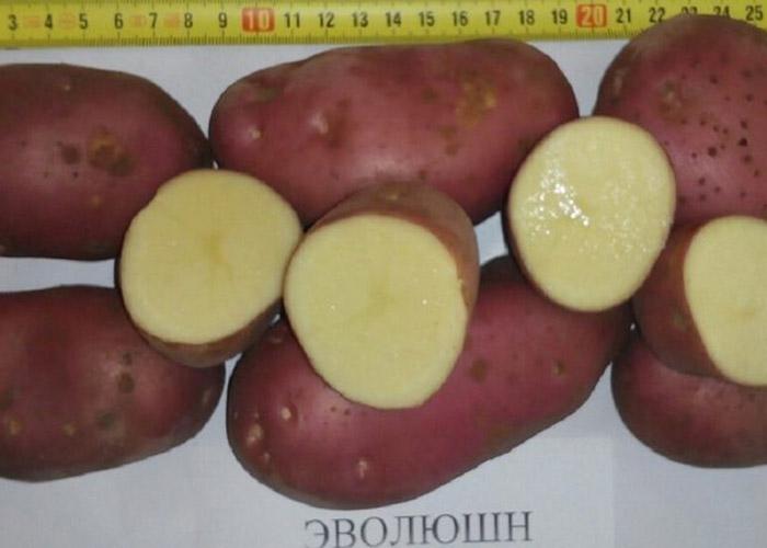 Картофельная элита