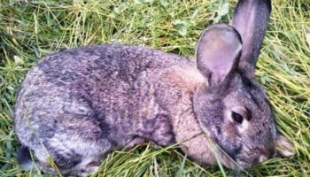 Кокцидиоз у кроликов