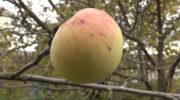 Небывалый урожай. Сгнившие яблоки лучше переработать, а не оставлять на земле
