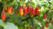 Необычные сорта плодово-ягодных культур