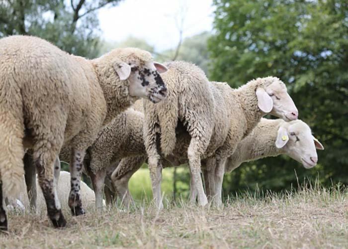 Ночную похитительницу овец задержали в Удмуртии