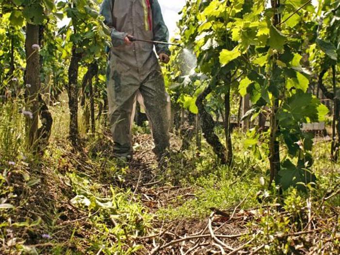 Обработка винограда осенью против болезней и вредителей