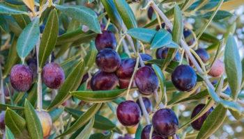 Оливковое дерево: выращивание в домашних условиях