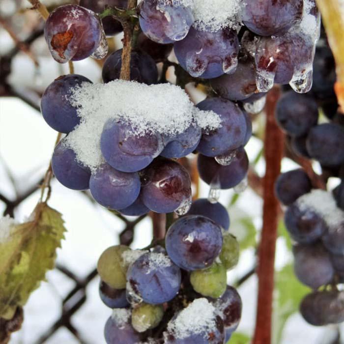 Опасны ли для винограда осенние заморозки