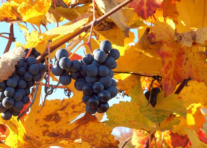 Осенняя подкормка виноградника