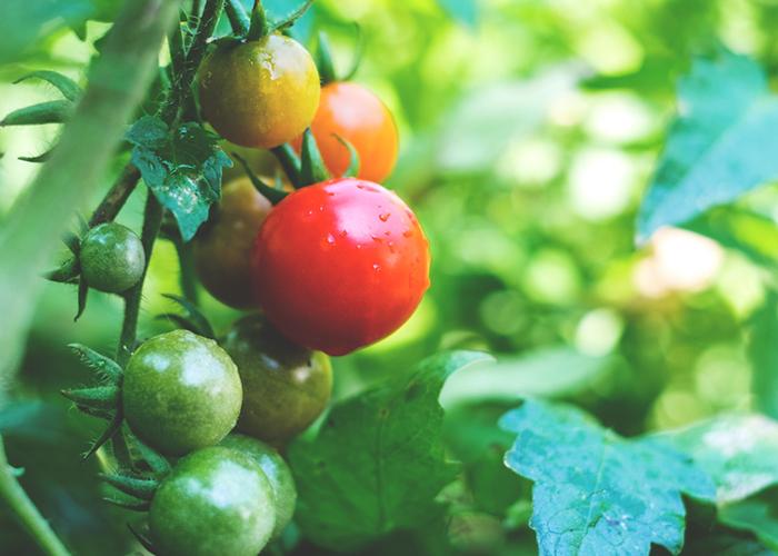 Пересадка почвы с полезной микробиотой позволила фермерам спасти зараженные помидоры