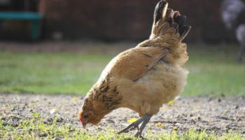 Понос у курицы
