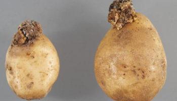 Рак картофеля – угроза урожаю