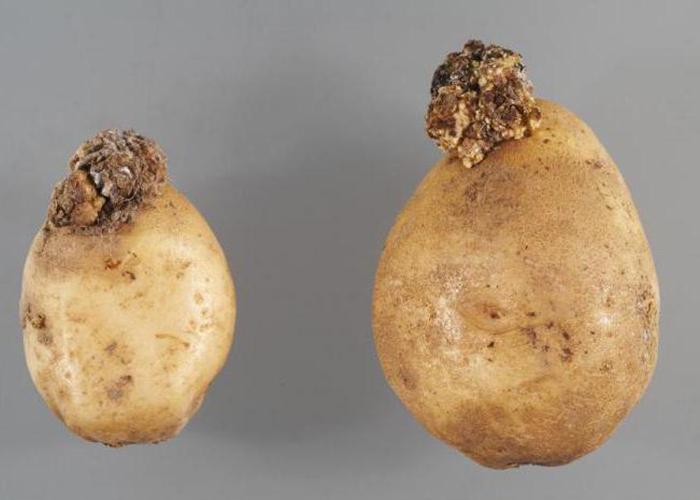 Рак картофеля угроза урожаю