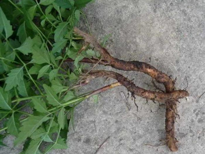 Размножение Кампсиса корневой порослью