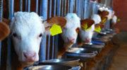 Россия купила в Европе 45 тысяч голов молочного КРС