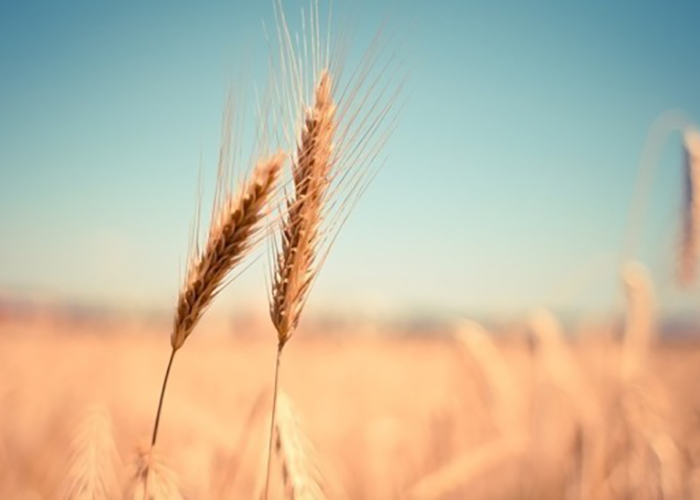 Россия возобновила поставки пшеницы во Вьетнам