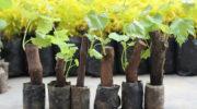 6 ошибок при посадке винограда