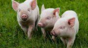 Сухой корм в рационе свиней