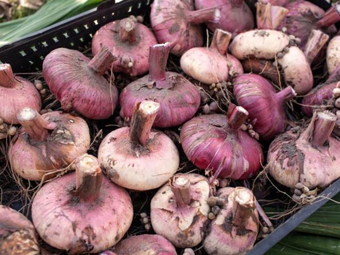 Сушка луковиц гладиолусов
